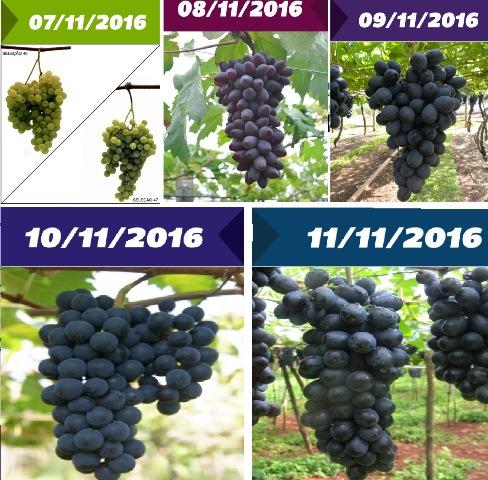 Dias de campo apresentam uvas brasileiras para clima tropical